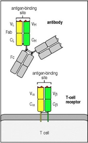 Autoimmune Hepatitis, Research Paper Example